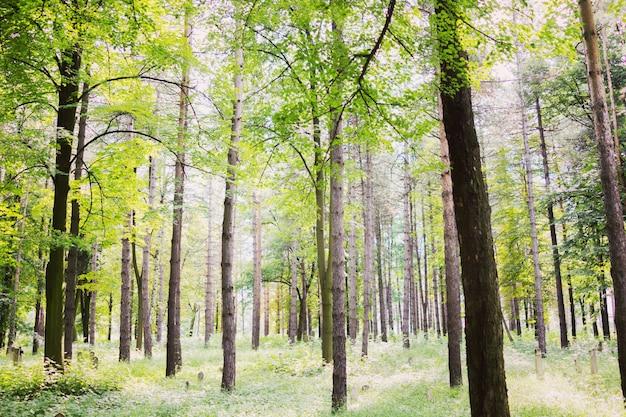 Árvores florestais, natureza, verde, madeira, luz solar, fundos Foto Premium
