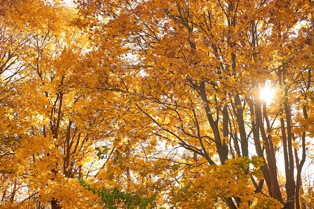 Árvores vermelhas e amarelas do outono contra o céu azul. natureza no outono. panorama. Foto Premium
