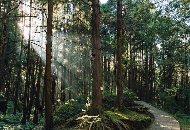 As árvores de cedro japonês na floresta com através da luz solar irradiam na área de recreação nacional da floresta de alishan no condado de chiayi, distrito de alishan, taiwan. Foto Premium