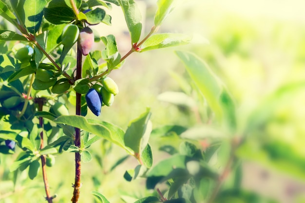 As bagas da madressilva amadurecem em um ramo no jardim. de cor. Foto Premium