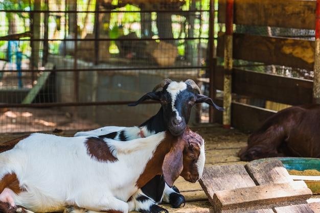As cabras marrom e branco, lançadas em palha em uma fazenda Foto Premium