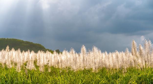 As flores do junco e do céu azul. Foto Premium
