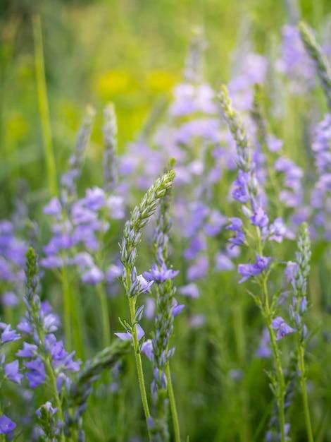 As flores speedwell crescem no campo. Foto Premium