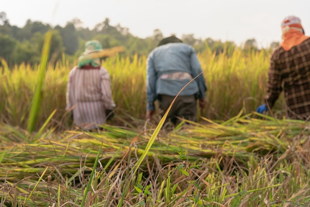 As folhas verdes do arroz com delicado borrado de fazendeiros tailandeses estão colhendo o arroz nos campos. Foto Premium