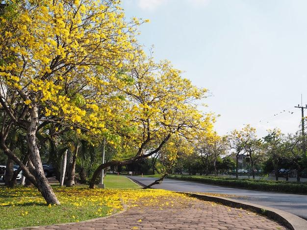 As linhas e as flores amarelas de árvore de tabebuia rosea caem no chão da grama Foto Premium