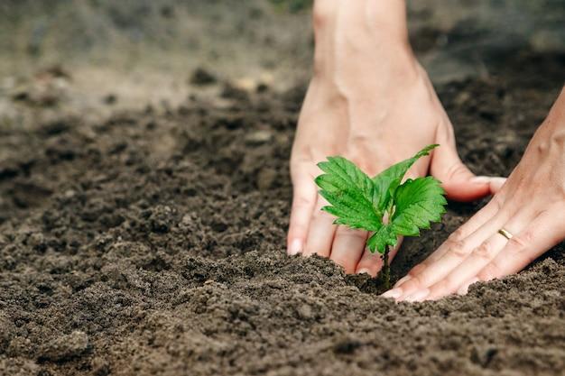 As mãos das mulheres colocam um broto no solo, close-up Foto Premium