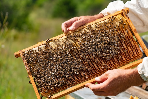 As mãos do homem guardam um quadro de madeira com favos de mel e abelhas no jardim no verão. Foto Premium