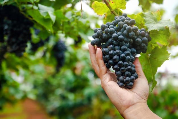 As mãos dos jardineiros pegam o cacho de uvas pretas para verificar a qualidade. Foto Premium