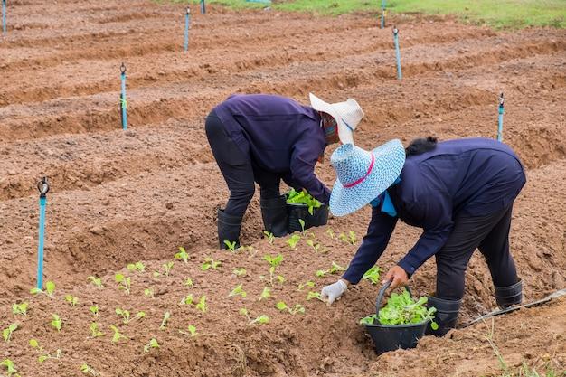 As mulheres agricultoras estão plantando alface Foto Premium