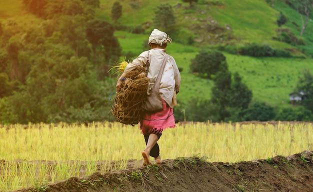 As mulheres estão carregando as mudas, andando no campo de arroz Foto Premium