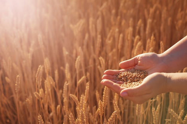 As palmas das mulheres seguram as sementes de trigo no contexto das espigas de trigo amarelas Foto Premium