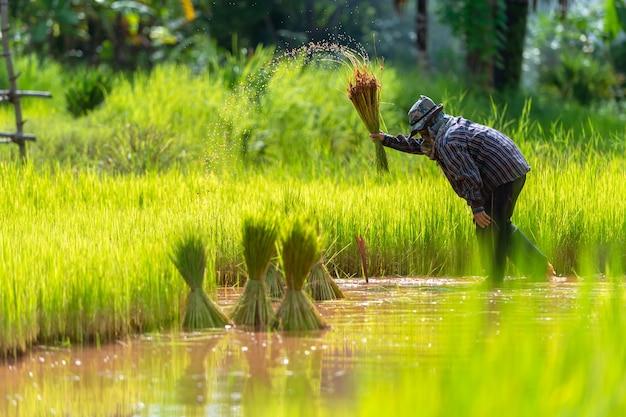 As plântulas asiáticas do arroz da transplantação do fazendeiro no arroz colocam, fazendeiro que planta o arroz na estação das chuvas. Foto Premium