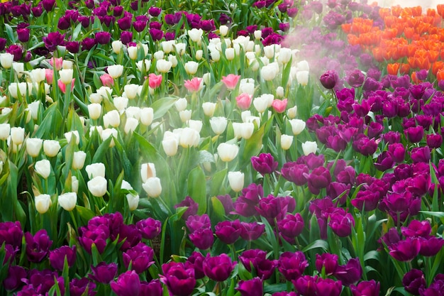 As tulipas florescendo lindas no jardim. tulipas flor fechar sob iluminação natural ao ar livre Foto Premium