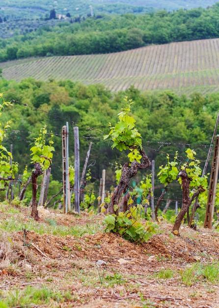 As vinhas de chianti. Foto Premium