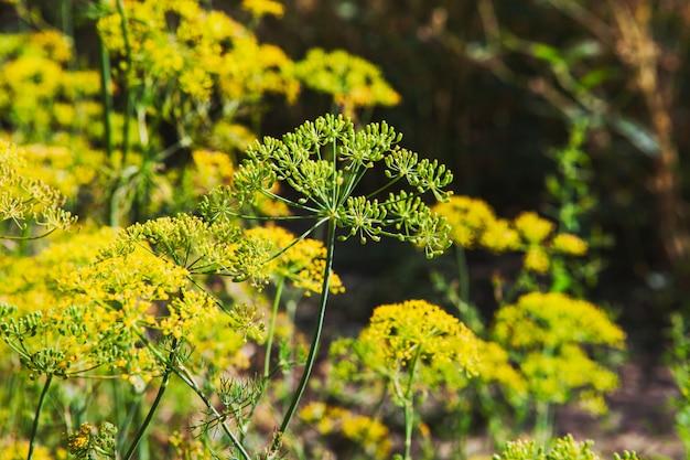 Asafetida plantas vista lateral Foto gratuita