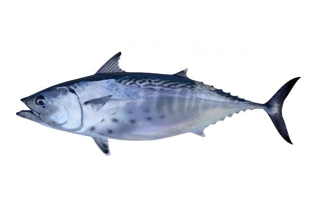 Atum pequeno pegar atum atlântico frutos do mar Foto Premium