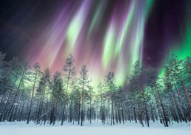 Aurora boreal sobre pinhal na neve Foto Premium