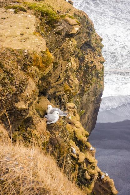 Aves em penhascos na islândia. Foto gratuita
