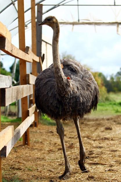 Avestruz bonito Foto gratuita
