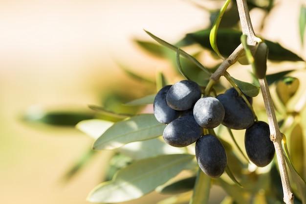Azeitonas pretas italianas em um ramo, avetrana, apulia, itália Foto Premium