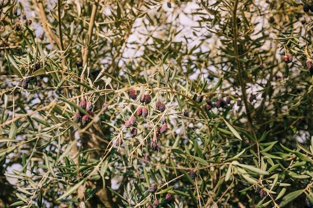 Azeitonas pretas secas nos galhos da árvore Foto gratuita