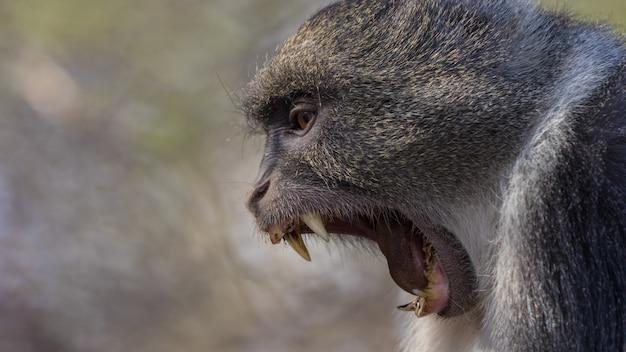 Babuíno em estado selvagem, áfrica Foto Premium