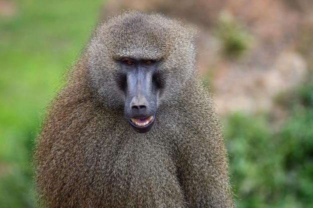 Babuínos da guiné em ambiente natural Foto Premium