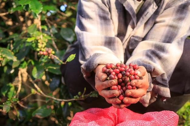 Bagas de café arábica com mãos de agricultor Foto Premium