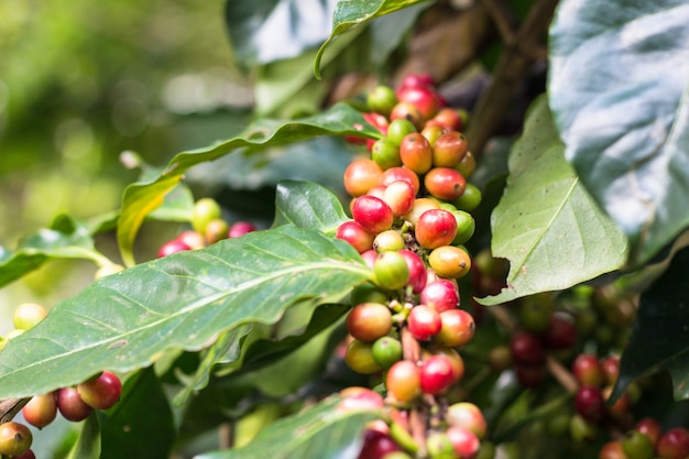 Bagas de café em uma árvore de café Foto Premium