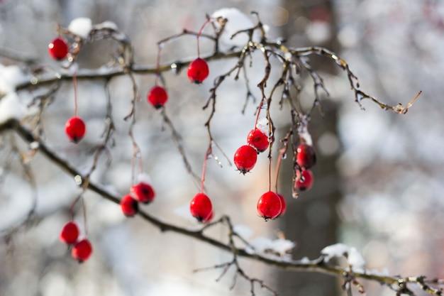 Bagas de espinheiro vermelho fosco sob a neve em uma árvore no jardim Foto Premium