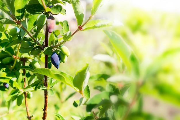 Bagas de madressilva amadurecem no ramo no jardim Foto Premium