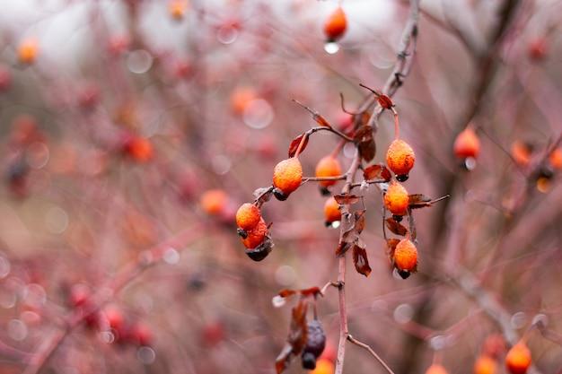 Bagas de rosa mosqueta em close-up de bush. medicina alternativa, colheita de frutas para o inverno. vitamina natural Foto Premium