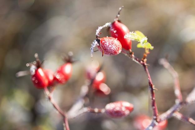 Bagas de rosa mosqueta vermelha com neve. um arbusto de rosa selvagem com gelo. primeira geada no outono. hoarfrost em ramos de rosa brava. Foto Premium