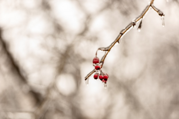 Bagas de rosa mosqueta vermelha e galhos de árvores cobertas de gelo Foto Premium