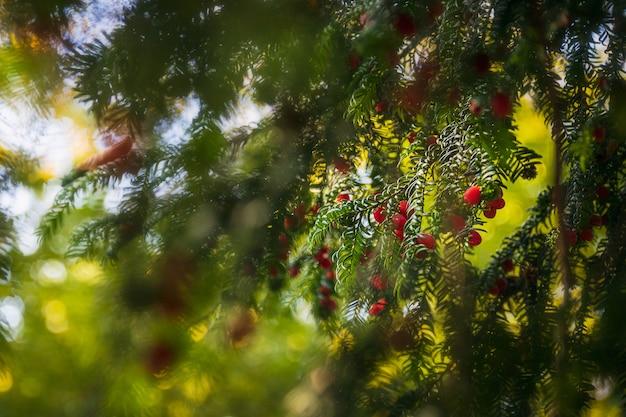 Bagas vermelhas em uma árvore do abeto e galhos embaçados na floresta Foto Premium