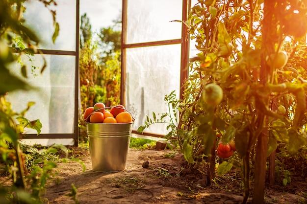 Balde de tomates vermelhos em estufa na fazenda. Foto Premium