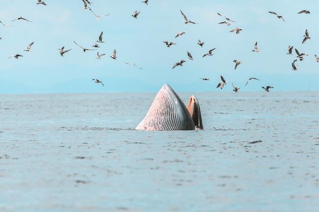 Baleia de bryde, baleia de eden, comer peixe no golfo da tailândia Foto Premium