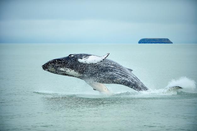 Baleia de corcunda (novaeangliae do megaptera) que rompe perto da cidade de husavik em islândia. Foto Premium
