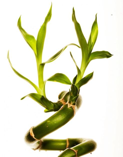 Bambu afortunado no fundo branco Foto Premium