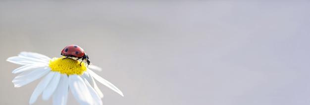Bandeira. pequena joaninha vermelha em uma flor margarida close-up. espaço para texto Foto Premium