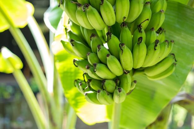 Bando de banana verde na árvore no jardim Foto Premium