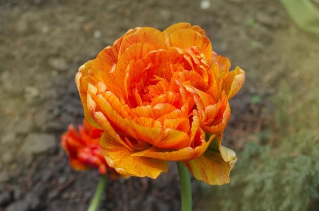 Bando de duo duplo tulipas laranja primavera sunlover Foto Premium