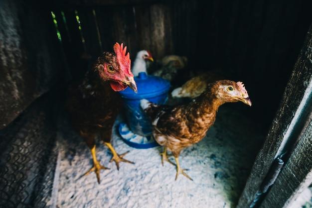 Bando de galinhas no frango Foto gratuita