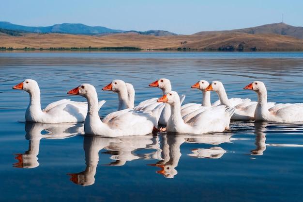 Bando de gansos de natação branco na água azul Foto Premium