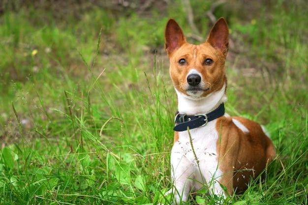 Basenji cachorro na grama do lado de fora Foto Premium
