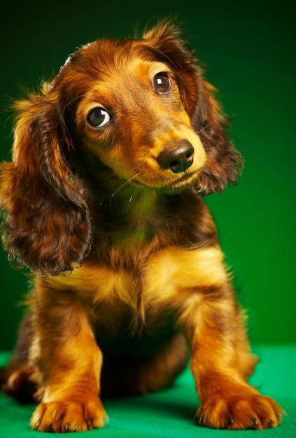 Bassê filhote de cachorro Foto Premium