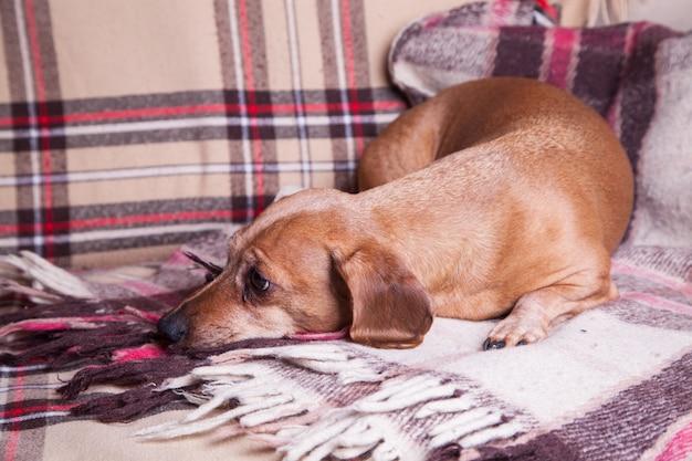 Bassê pequeno marrom deitado no sofá. animais de estimação. conforto Foto Premium