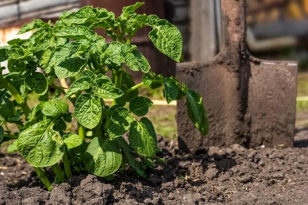 Batatas verdes do mato e uma pá no jardim em um dia ensolarado. Foto Premium