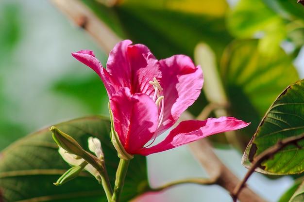 Bauhinia purpurea é rosa na natureza, florescendo lindamente. Foto Premium