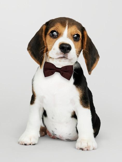 Beagle bonito em um laço marrom escuro Foto gratuita